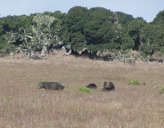 Hunting wild boar in Central California