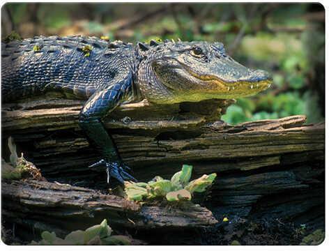 Rivers Edge Products Cutting Board Alligator Print Md: 753